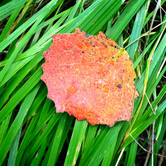 red leaf on the grass close-up