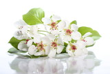 Flowers of pear on white