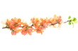 Twig with pink flowers isolated on white background