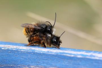 Gehörnte Mauerbienen bei der Paarung