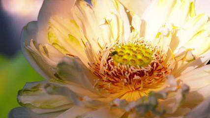 Time lapse opening of white lotus