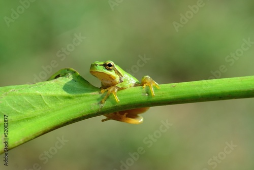 european tree frog, Hyla intermedia