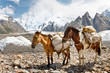 Pack Horses in the Karakorum, Pakistan