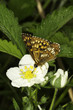 Hamearis lucina / The Duke of Burgundy butterfly