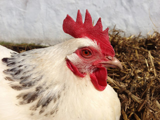 Close up of a white sussex hen