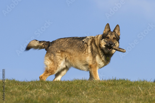 German Shepherd Dog on hill top