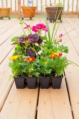 Greenhouse packs of Marigold, Geranium and Coleus flowers ready