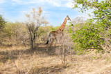 Wild Reticulated Giraffe  and African landscape in UAR poster