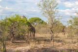 Wild Reticulated Giraffe,African landscape in Kruger Park, UAR poster