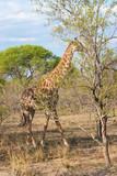 Wild Reticulated Giraffe in national Kruger Park in UAR poster