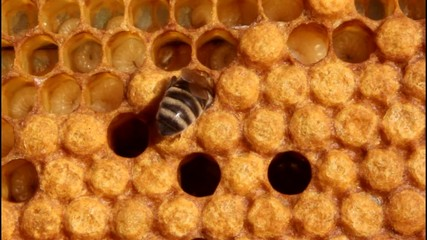 Work bees in the hive