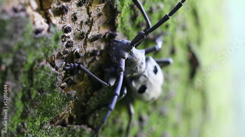 Long-horned beetle (Morimus funereus - Near Threatened Species)