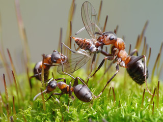 ants eat fly