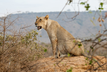 Löwen in Tsavo Nationalpark Kenya