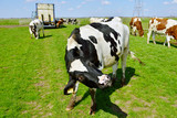 cow acting weird after livestock transport to meadow poster