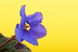 African violet on yellow background.