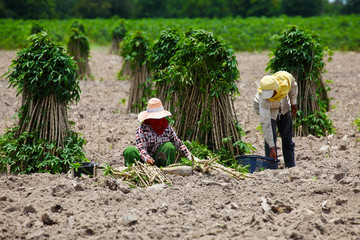 Farmer Preparing Young Cassava Plant