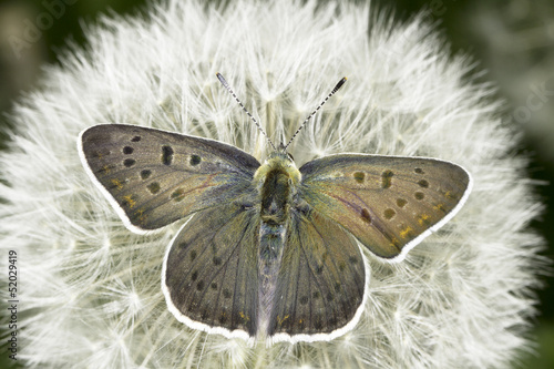 Lycaena tityrus / The Sooty Copper butterfly