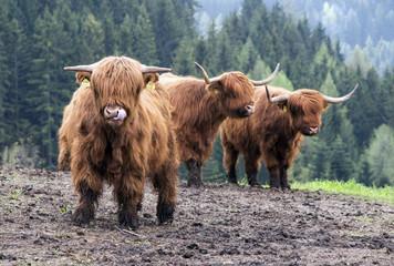 Highland Cattles auf der Weide