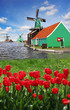 Windmills against red tulips in Netherlands, Zaanse Schans