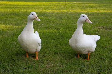 Curious white ducks