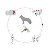 Leishmania life cycle