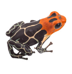 poison arrow frog isolated