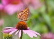 Fritillary butterfly feeding on pink coneflowers