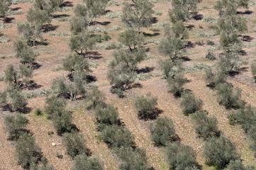 Aerial view of olive groves, Ciudad Real, Spain