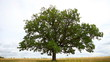 One big old oak tree on the emptyfield under cloudy sky