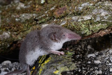 crocidura leucondon, Bicolored shrew