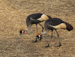Big Bird CROWNED CRANE (Balearica regulorum)