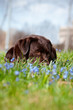 labrador retriever dogs in the flowers