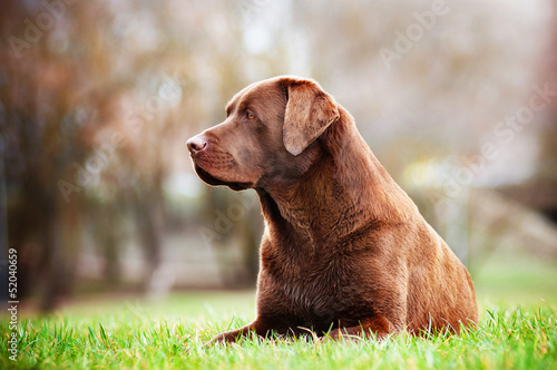 brown labrador dog lying on the grass