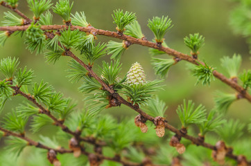 Larch tree detail