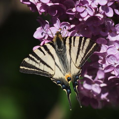 Swallowtail butterfly on lilac flower, Syringa