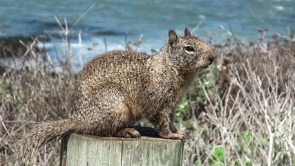 Wild squirrel at the seacoast