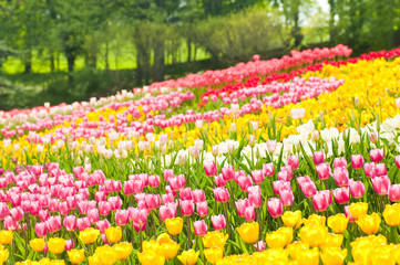 Bed of tulips in a garden of Istanbul
