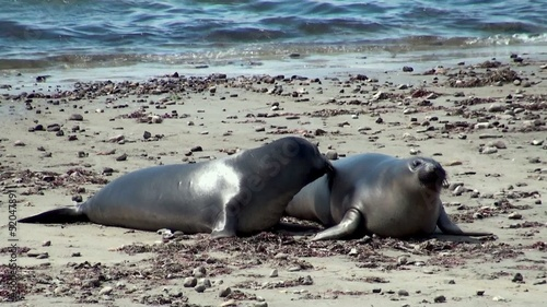 Games of young elephant seals