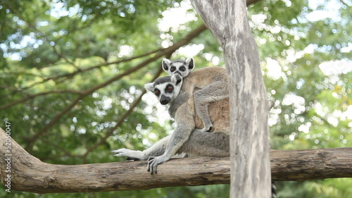 lemur and her baby