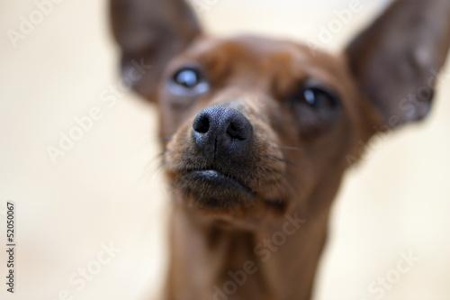 cane di razza pincher
