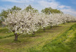 Blooming peach trees
