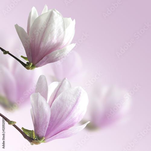magnolia © Tomasz