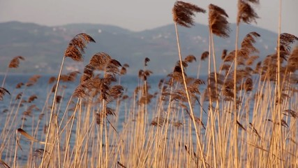 Dancing on the lake reed plants