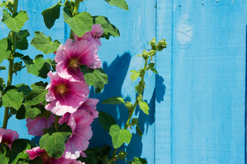 Pink common Hollyhock