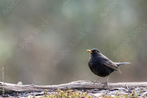 Male common blackbird