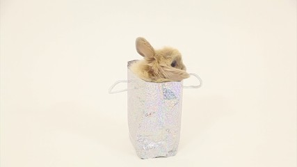 Rabbit  in studio