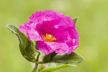 Rock-rose flower