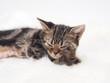 眠るアメリカンショートヘアーの子猫