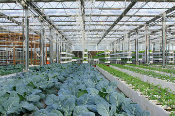 broccoli grown in modern agricultural production workshop